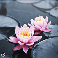 Lotus Blossoms - Zen Puzzle (50 pc)