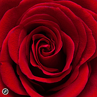 Red Rose - Zen Puzzle (50 pc)